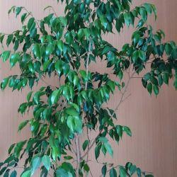 Benjamin Ficus h 1,7 m
