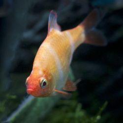 Ψάρια ενυδρείου Barbus Sumatran albino.