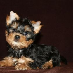 Yorkshire Terrier girl-Zlata