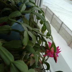 Цветок шлюмбергера,рипсалидопсис