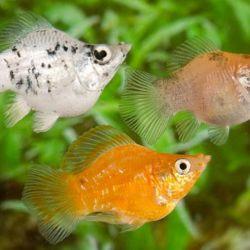 Μπαλόνι ψαριών ενυδρείου mololyia