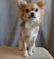 Chihuahua pimpled girl