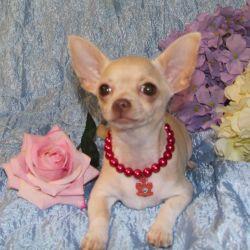 A gentle angel, a girl, Mrs. Chihuahua