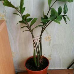 Комнатные  цветы Замиакулькс