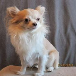 Chihuahua Longhair