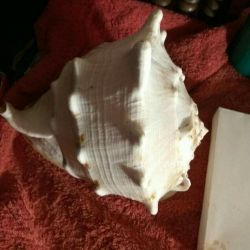 Sea shell 🌊big