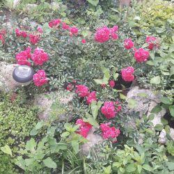 Rose creeping