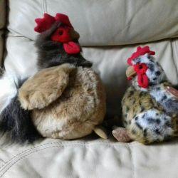 Cockerel, chicken