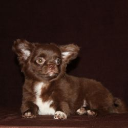 Chihuahua. d. h h chocolate boy
