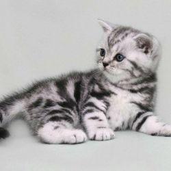 İngiliz yavru kedi