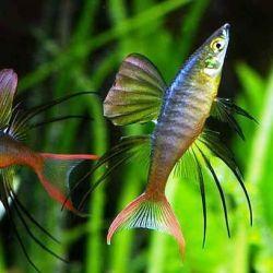 Ψάρια ενυδρείων Iriaterina Werner