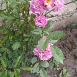 Weaving rose