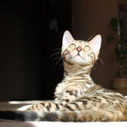 Bengal breed cat kitten