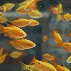 Ψάρια ενυδρείων Φωτιά Barbus
