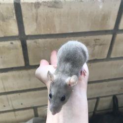 Dekoratif sıçan