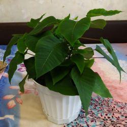Цветок пуансеттия.