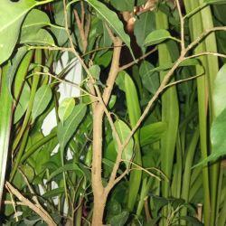 Ficus, scarlet, golden mustache