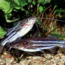 Ψάρια ενυδρείου Mistus