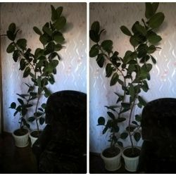 Two large trees of Ficus 2.3 m