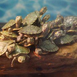 Χελώνα κόκκινου χόρτου ενυδρείου