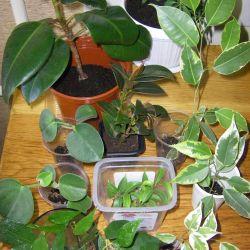 Ficus și multe altele