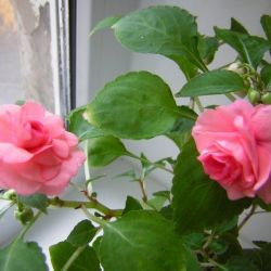 indoor balsam pink. white. scarlet