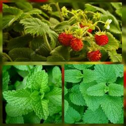 Mint, lemon balm, dried strawberry