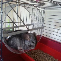 Chinchilla girl