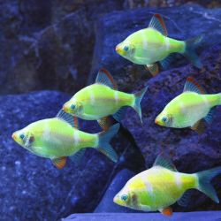 Aquarium fish barbus glo green