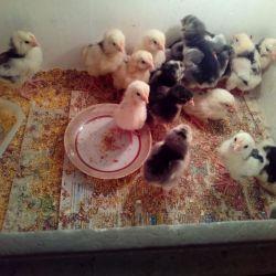 Chinese silk chicks