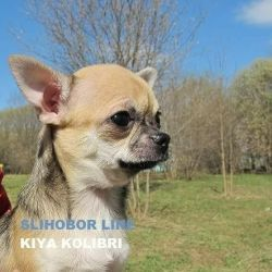 Chihuahua puppy girl