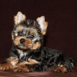 Yorkshire Terrier, breed puppies -2 brothers