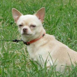 Mating dog Chihuahua male