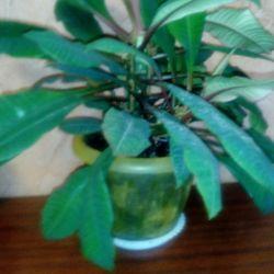 Euphorbia palm