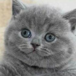 İngiliz yavru kedi.