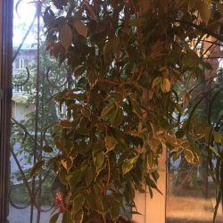 Ficus Benjamin Kinki