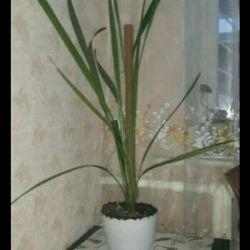 Пальма финиковая выращенная из косточки