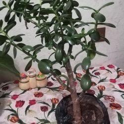 Money tree 50cm