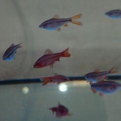 Ψάρια ενυδρείου Barbus cherry