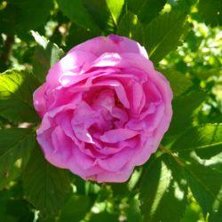 Rosehip αυξήθηκε πέταλο