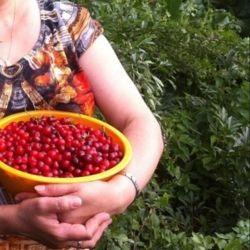 Altai cherry seedlings