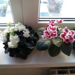 Violets of varietal
