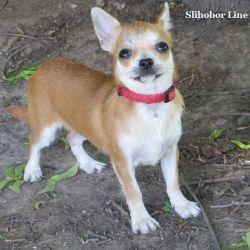 Chihuahua redhead m / w girl