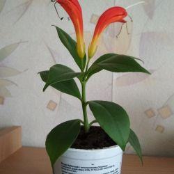 Домашний цветок