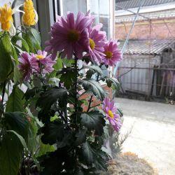 Chrysanthemum room abundant blooming