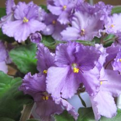 violet, babes