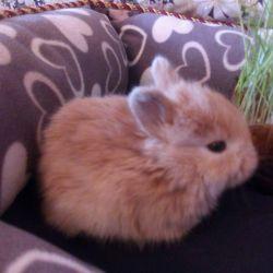 Крольчата карликовые декоративные