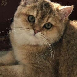 Πράσινο μάτι γάτα