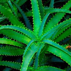 Aloe (Agave)