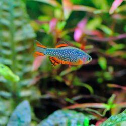 Ψάρια ενυδρείων Μικροπαραγωγός γαλαξίας.